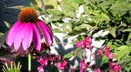 Stock Video Footage of Cone Flower