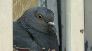Pigeon Nesting Close Up Stock Footage