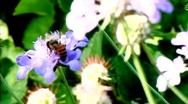 Bee on Blue Flower Stock Footage