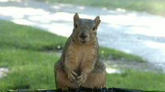 Squirrel Burp Stock Footage