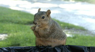 Stock Video Footage of Squirrel Burp