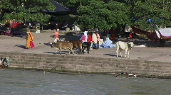 Holy cows on river Ganges (w/sound) Stock Footage