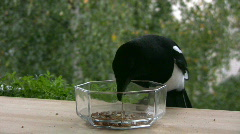 Magpie (Pica-pica) feeding 1  Stock Footage