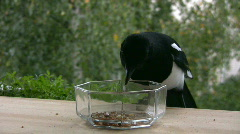 Magpie (Pica-pica) feeding 2  Stock Footage