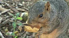 Squirrel Eats Chip Stock Footage