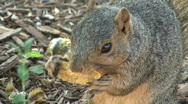 Stock Video Footage of Squirrel Eats Chip