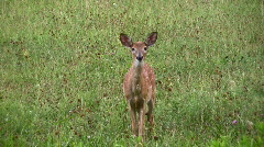 Young fawn Stock Footage