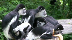 Colubus Monkey Family - stock footage