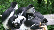 Stock Video Footage of Colubus Monkey Family