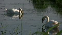 Graceful SWANS on Dyke Stock Footage