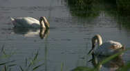 Stock Video Footage of Graceful SWANS on Dyke