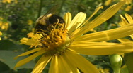 Stock Video Footage of Bee on flower.