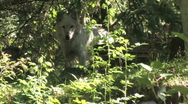 Gray Wolf 2 Stock Footage