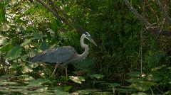 Heron in Florida everglades wetlands Stock Footage