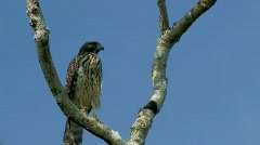 Osprey in tree in Florida everglades - stock footage