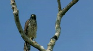 Osprey in tree in Florida everglades Stock Footage