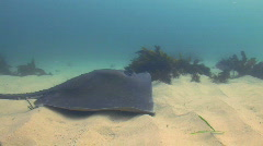 Sting Ray  Stock Footage