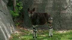 Okapi zebra standing by rocks Stock Footage