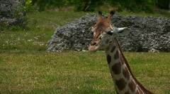 Giraffe head and neck close up Stock Footage