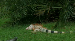 Iguanas in the grass Stock Footage