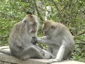 Monkeys 9 Stock Footage