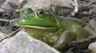 Big green frog. Stock Footage