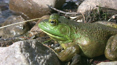 Big green frog by the water. Stock Footage