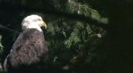 Bald Eagle Profile Stock Footage