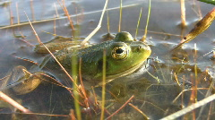Small green frog. Stock Footage