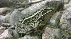 Northern leopard frog. - stock footage