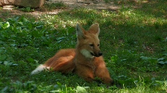 Maned wolf relaxes in grassy area Stock Footage
