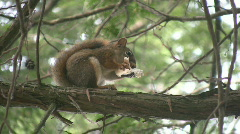 Squirrel eats mushroom. - stock footage
