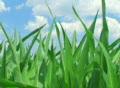 Corn Against Sky Footage