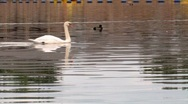 Stock Video Footage of Swan Glides Past On Calm Water