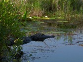 Stock Video Footage of Alligator in the Florida everglades swamp