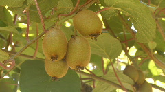 Kiwi fruits growing on the branch Stock Footage