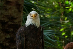 American Bald Eagle Stock Footage