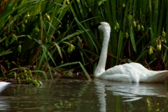 Trumpeter Swan swims in lake in morning  Stock Footage