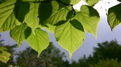 Leaf wind - stock footage