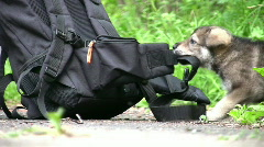Puppy and knapsack Stock Footage