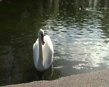 Swan On Pond Stock Footage