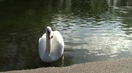 Stock Video Footage of Swan On Pond