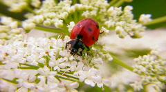 Lady bug Stock Footage