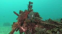 Damsel Fish Stock Footage