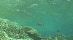 White Tip Reef Shark  Stock Footage