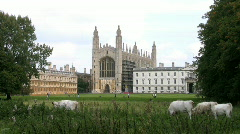 Cattle grazing on The Backs with Kings College Chapel Cambridge England UK Stock Footage
