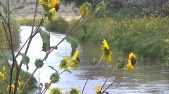 Sunflowers by a Stream Stock Footage