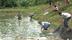 Peru: Fish pond harvesting Stock Footage