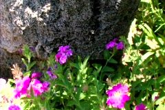 Purple Flowers Before Rock - stock footage