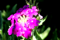 Purple Flower - stock footage
